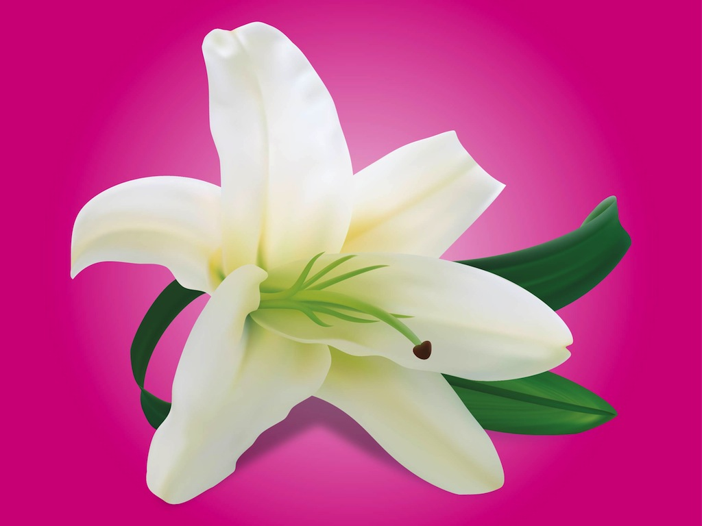 Lily Flower Vector Art Graphics Freevector