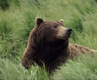 Grizzly Bear Image