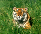 Relaxing Bengal Tiger Wallpaper