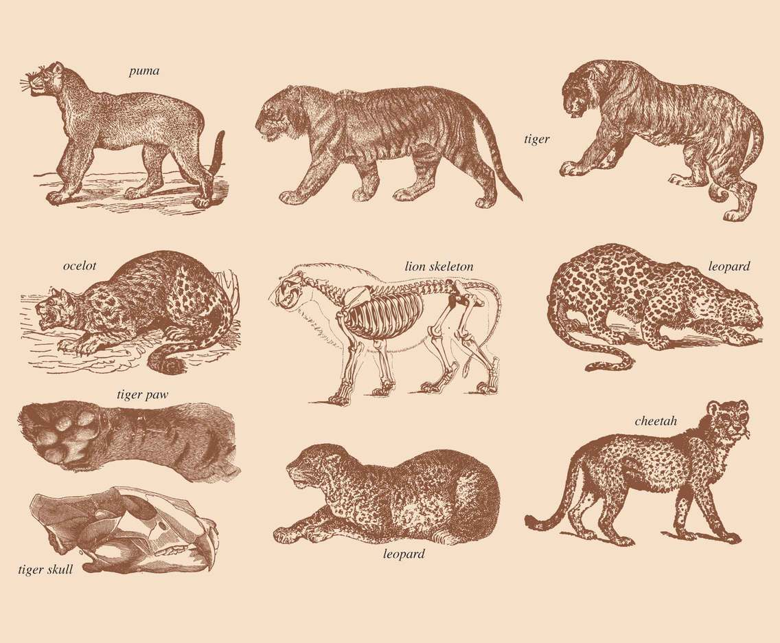 Big Cats Drawings