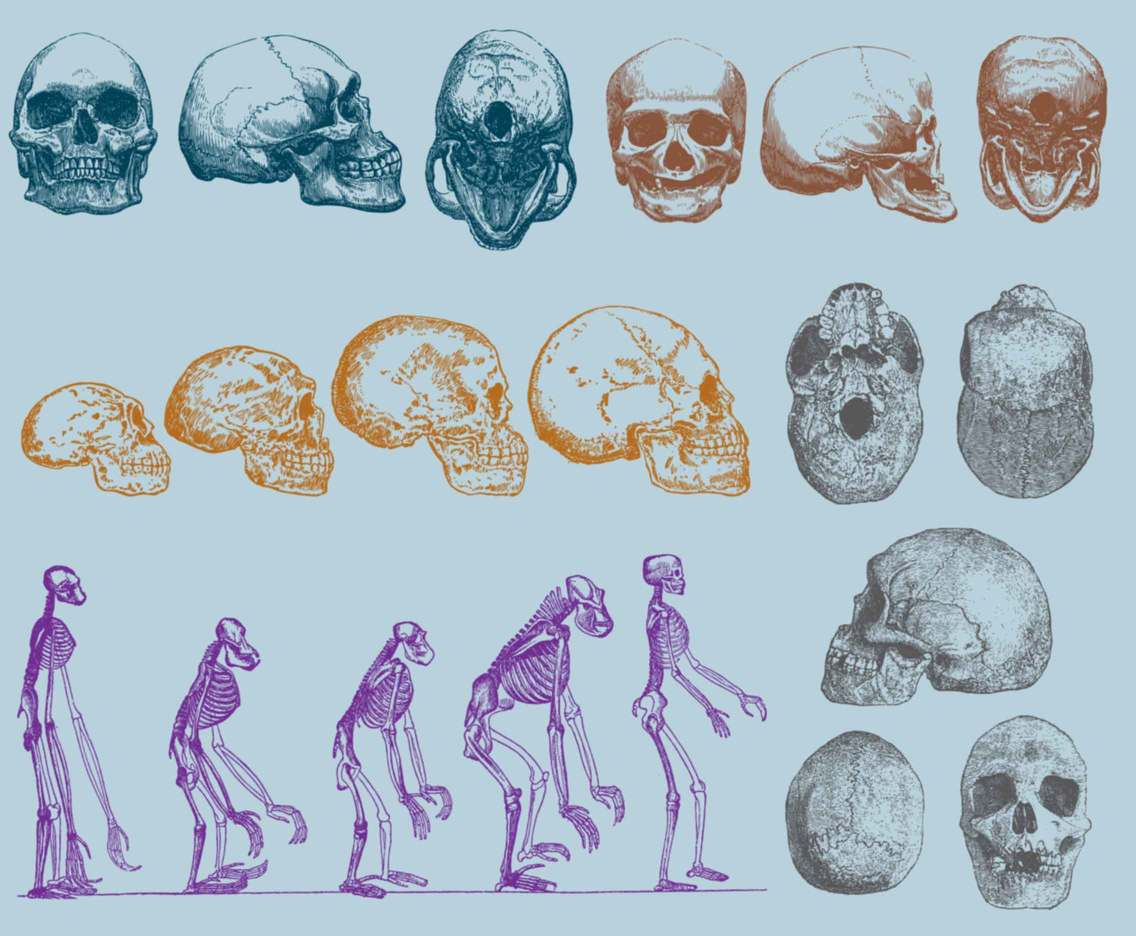 Evolution Of Human Skull