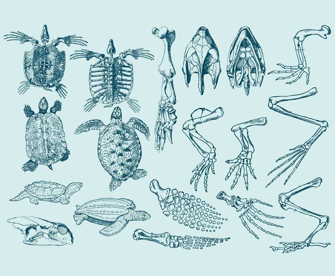Turtle Anatomy Illustrations