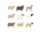 Sheep Breed