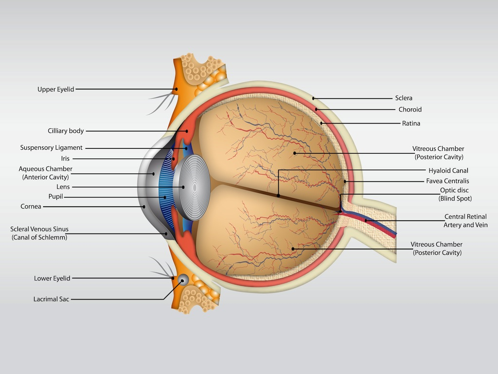 Picture of eye anatomy