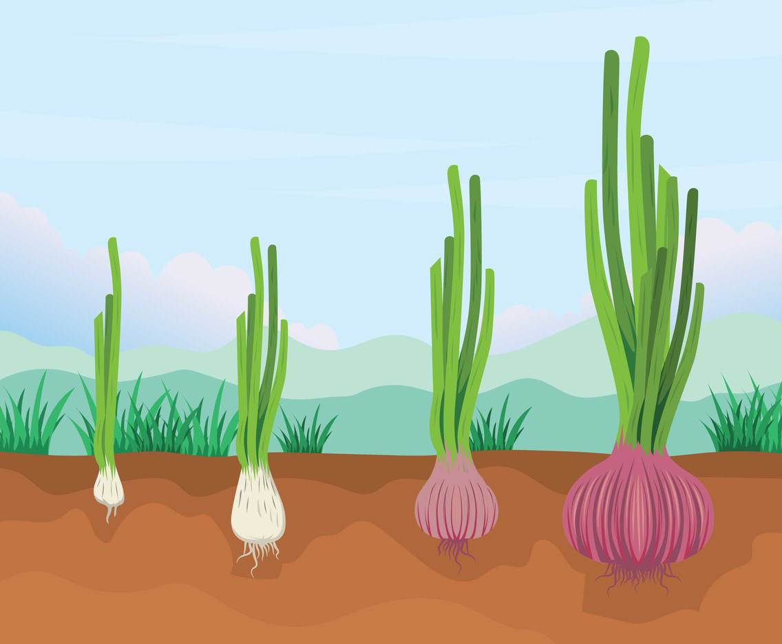Free Phases and Growth Stage Onion Illustration