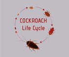 Life Cycle of Cockroach