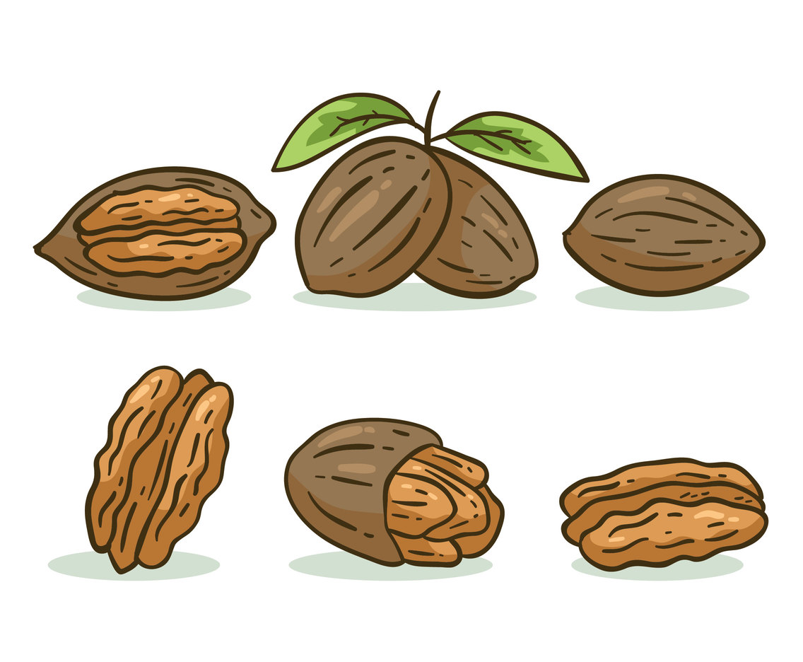 Hand Drawn Pecan Vector