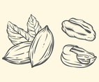 Pecan Hand Drawn Illustration