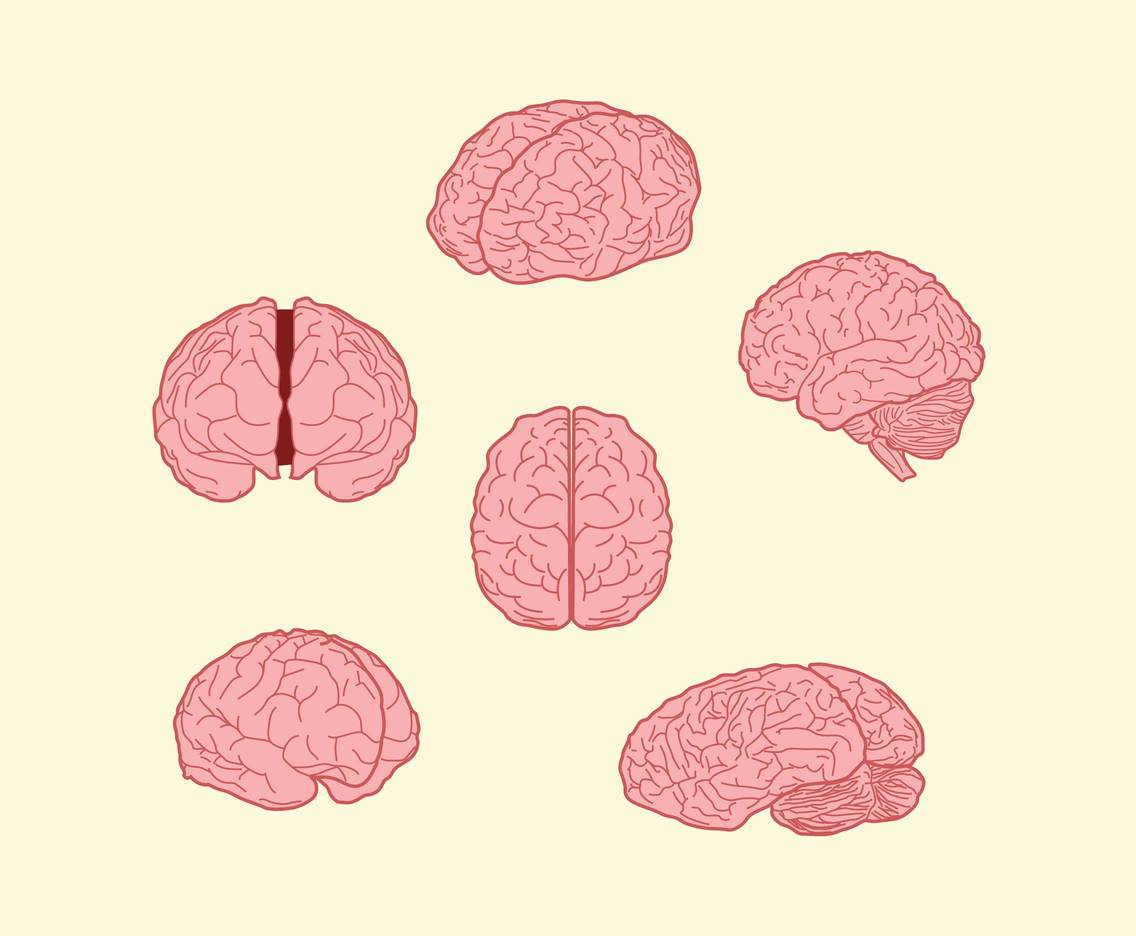 Human Brain Illustration Vector