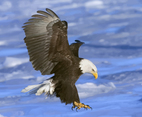 Flying Bald Eagle
