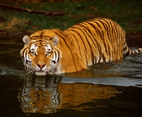 Wildlife Tiger